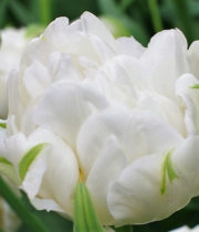 Tulips, Double-white