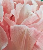 Tulips, Double-light Pink
