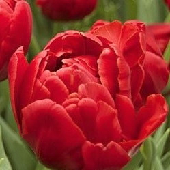 wholesale flowers | tulips red