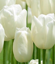 Tulips, French-white