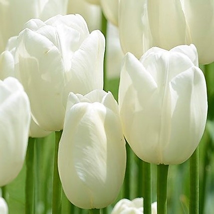 wholesale flowers | tulips French white