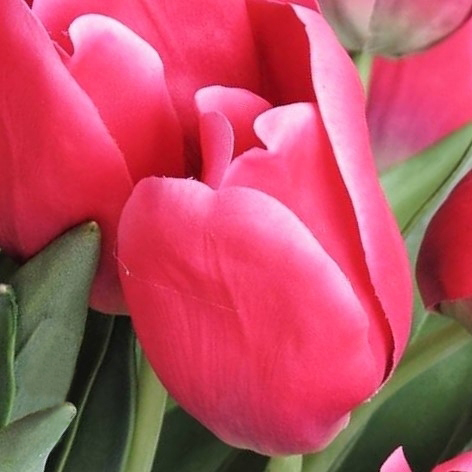 wholesale flowers | tulips greenhouse hot pink