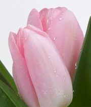 Tulips, Greenhouse-light Pink