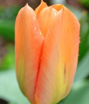 Tulips, Greenhouse-orange