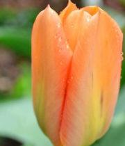 Tulips, Greenhouse-orange