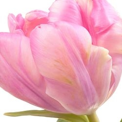 wholesale flowers | tulips Parrot light pink