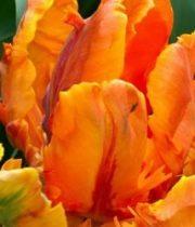Tulips, Parrot-orange