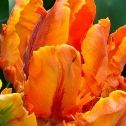 wholesale flowers | tulips Parrot orange