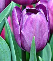 Tulips, Greenhouse-purple