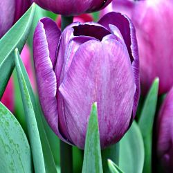 wholesale flowers | tulips greenhouse purple