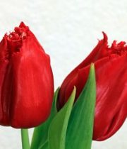 Tulips, Greenhouse-red
