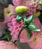 Dahlias, Field-pink