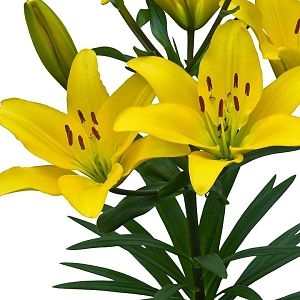 wholesale flowers | Asiatic Lily- yellow