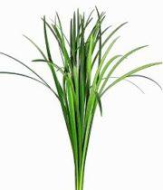 Lily Grass-green