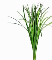 Lily Grass-green