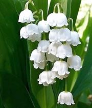 Lily Of The Valley-white