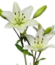 Lily Asiatic-white