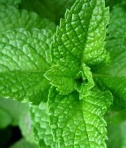 Mint-green, Herb