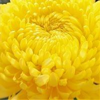wholesale flowers | mums- china yellow