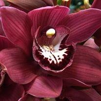 wholesale flowers | orchid- cymbidium burgundy