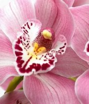 Orchid, Cymbidium, Large-light Pink