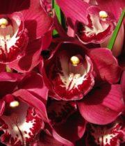 Orchid, Cymbidium, Mini-burgundy