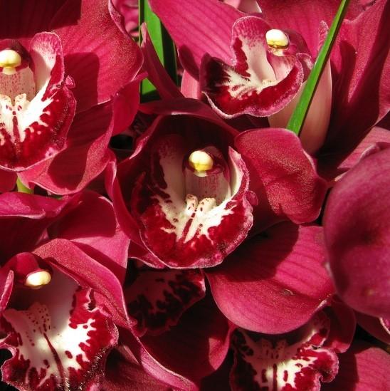 wholesale flowers | orchid- c ymbidium mini burgundy