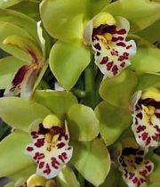 Orchid, Cymbidium, Mini-dark Green