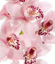 Orchid, Cymbidium, Mini-light Pink