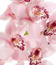 Orchid, Cymbidium, Mini-light Pink