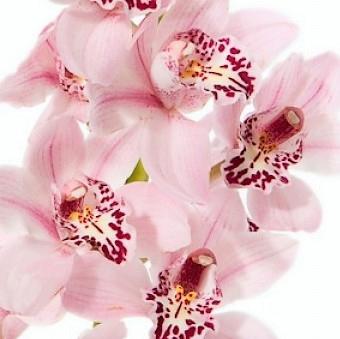 wholesale flowers | orchid- c ymbidium mini lt pink