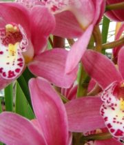 Orchid, Cymbidium, Mini-pink