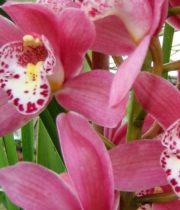 Orchid, Cymbidium, Mini-pink