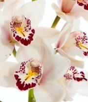 Orchid, Cymbidium, Mini-white