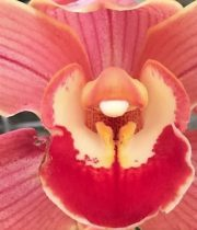 Orchid, Cymbidium, Large-peach