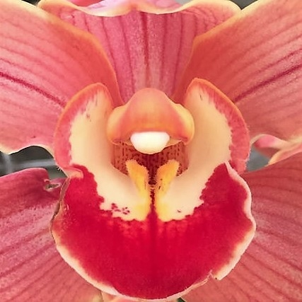 wholesale flowers   orchid- c ymbidium peach
