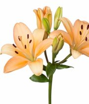 Lily Asiatic-peach