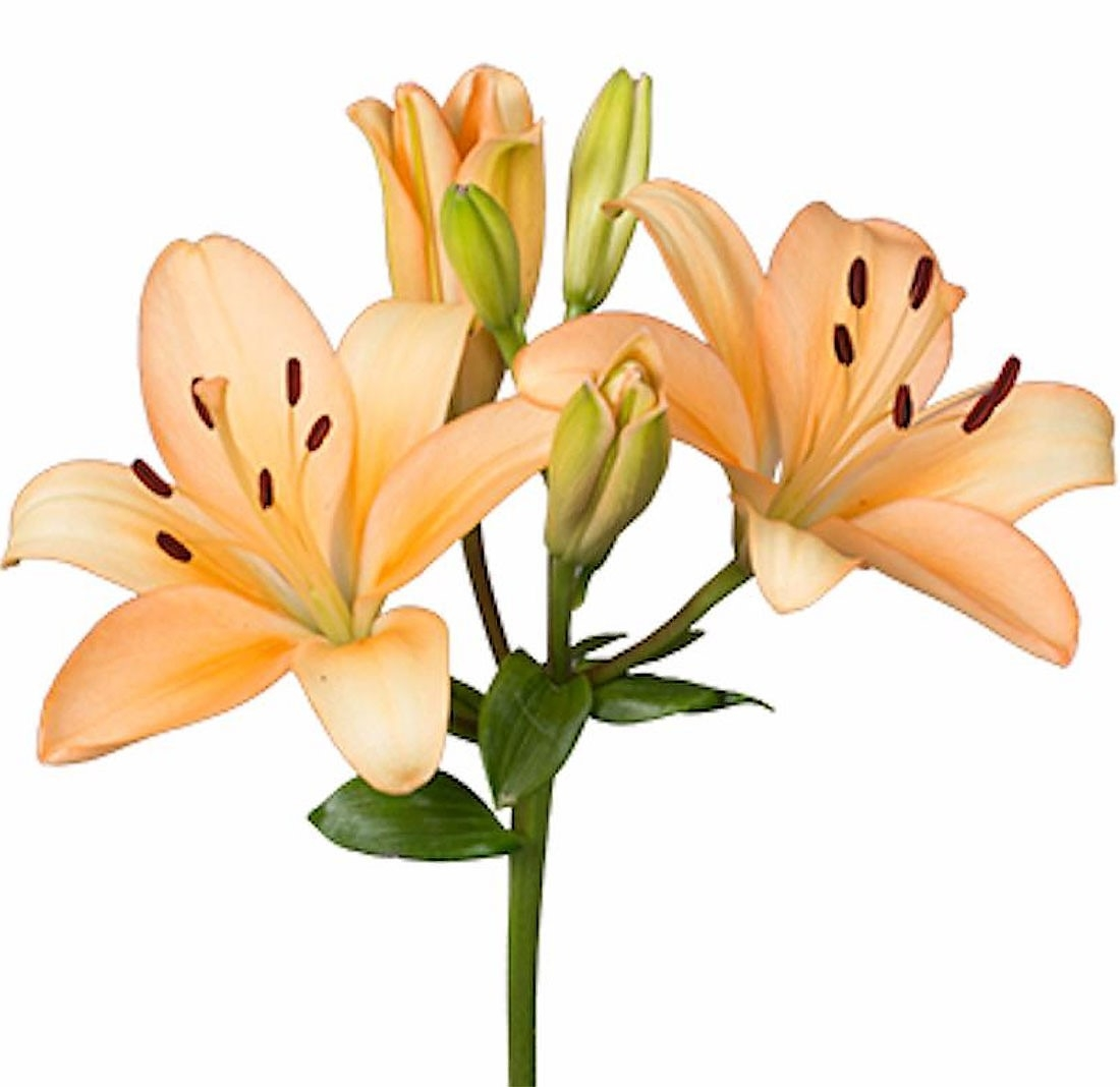 wholesale flowers | Asiatic Lily- peach
