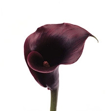 wholesale flowers Calla-Mini-Black