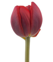 Tulips, Double-burgundy