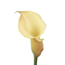 wholesale flowers calla -Cream