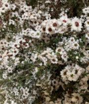 Lepto, Flowering-white