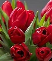 Tulips, French-red