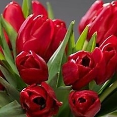 wholesale flowers | tulips French red