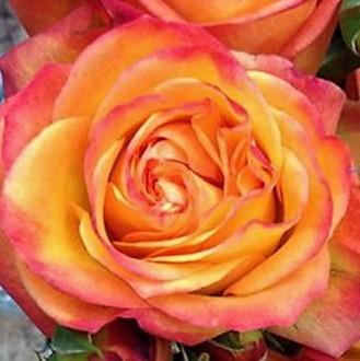 wholesale flowers | garden rose fiction