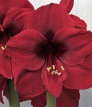 Amaryllis-burgundy