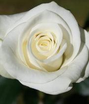 Rose, Akito-CA