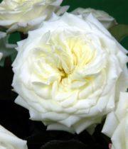 Rose Garden, Alabaster-SA