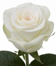 Rose, Alba-SA