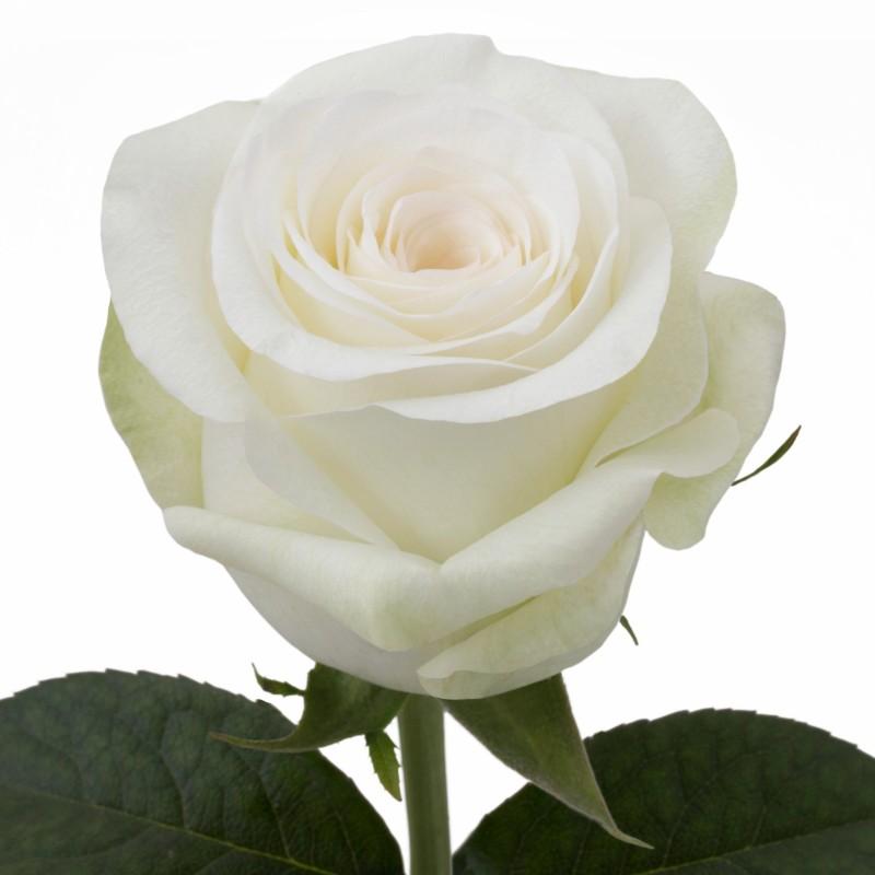 Alba Rose